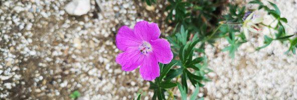 03. Juni 2019 – Pflanzen-Impressionen im Hortus Civitas Ursi