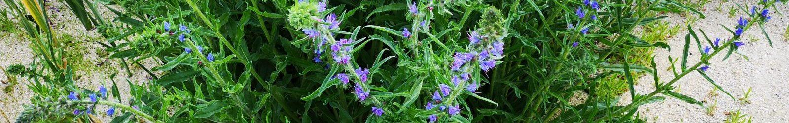 17. Juni 2019 – Pflanzen-Impressionen im Hortus Civitas Ursi