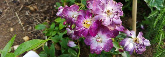 26. Juni 2019 – Die Rambler Veilchenblau blüht