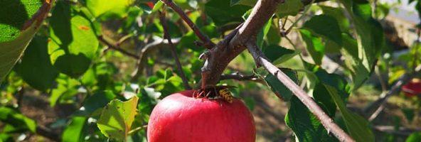 27. August 2018 – Die erste Apfelernte