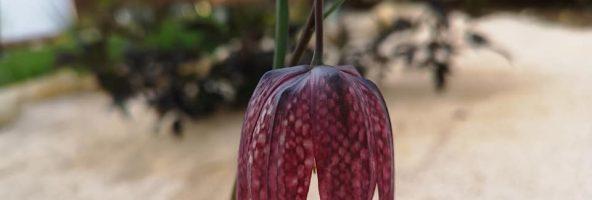 23. April 2019 – Pflanzen-Impressionen im Hortus Civitas Ursi